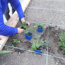 Plantation de fraisiers par la SA ESAT de Lancheneil