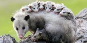 possum sans fourrure