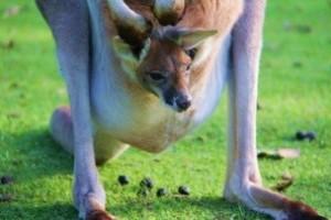 kangourou roux